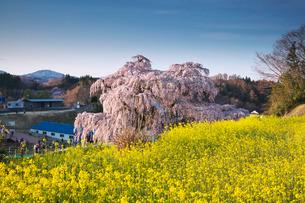 三春滝桜と菜の花の写真素材 [FYI01783207]