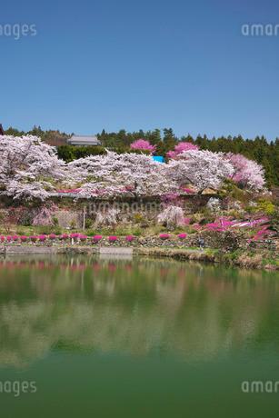尾首の池の桜の写真素材 [FYI01783240]