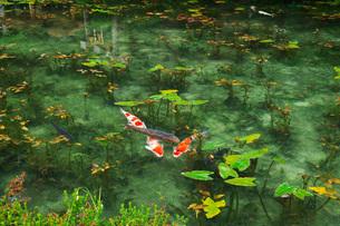 モネの池 名もなき池の写真素材 [FYI01783247]
