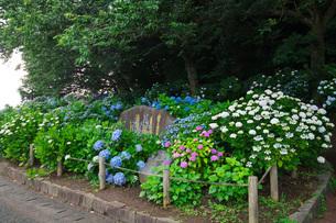 住吉自然公園 あじさい園の写真素材 [FYI01783260]