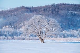 はるにれの木 樹氷の写真素材 [FYI01783301]