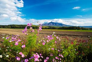 斜里岳とコスモスの写真素材 [FYI01783304]