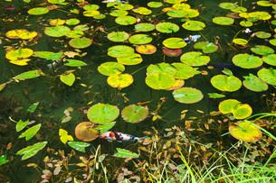 モネの池 名もなき池の写真素材 [FYI01783330]