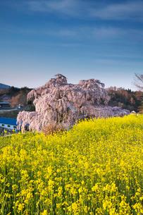 三春滝桜と菜の花の写真素材 [FYI01783419]