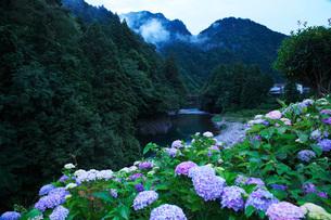 板取川とアジサイの朝の写真素材 [FYI01783429]