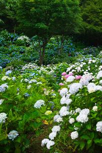舞鶴自然文化園 アジサイ園の写真素材 [FYI01783439]
