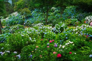 舞鶴自然文化園 アジサイ園の写真素材 [FYI01783469]