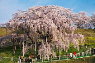 三春滝桜の写真素材 [FYI01783477]
