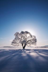 はるにれの木と太陽 樹氷の写真素材 [FYI01783502]