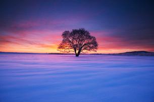 はるにれの木の朝の写真素材 [FYI01783517]