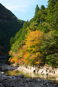 香落渓と青蓮寺川の秋の写真素材 [FYI01783520]