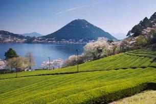 藺牟田池と茶畑と桜と飯盛山の写真素材 [FYI01783525]