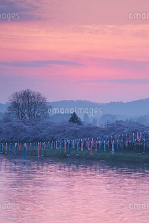 北上展勝地の桜と北上川の朝の写真素材 [FYI01783575]