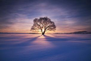 はるにれの木 日の出の写真素材 [FYI01783637]