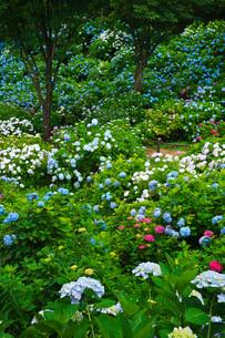 舞鶴自然文化園 アジサイ園の写真素材 [FYI01783645]