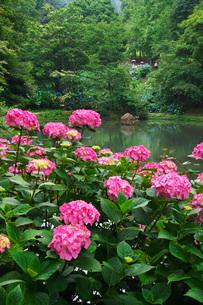 舞鶴自然文化園 アジサイ園の写真素材 [FYI01783692]