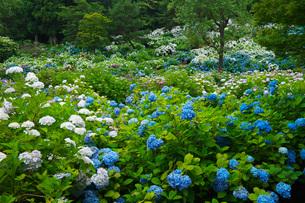 舞鶴自然文化園 アジサイ園の写真素材 [FYI01783696]