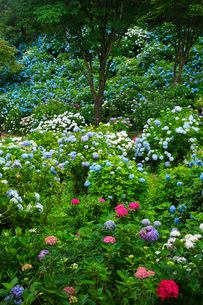舞鶴自然文化園 アジサイ園の写真素材 [FYI01783756]