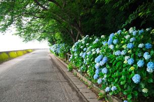 住吉自然公園 あじさい園の写真素材 [FYI01783778]