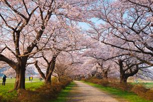 北上展勝地の桜の写真素材 [FYI01783804]