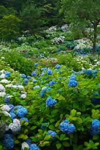 舞鶴自然文化園 アジサイ園の写真素材 [FYI01783860]