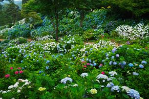 舞鶴自然文化園 アジサイ園の写真素材 [FYI01783933]