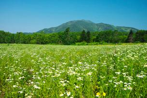野の花とニセコ連峰の写真素材 [FYI01783951]