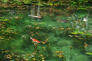 モネの池 名もなき池の写真素材 [FYI01783965]