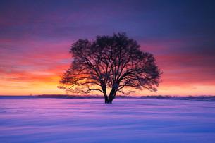 はるにれの木の朝の写真素材 [FYI01783991]