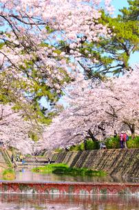 夙川公園の桜並木の写真素材 [FYI01784214]
