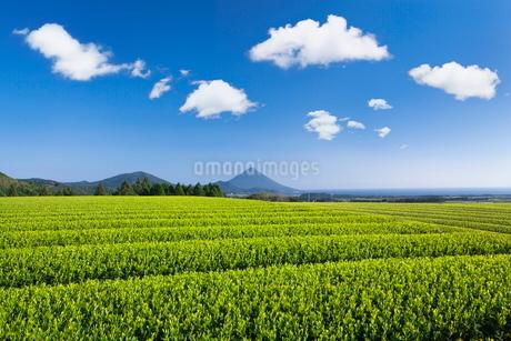 お茶畑と開聞岳の写真素材 [FYI01784327]