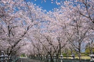 春の知覧特攻平和公園の桜並木の写真素材 [FYI01784333]