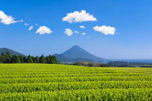 お茶畑と開聞岳の写真素材 [FYI01784362]