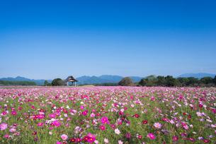 コスモス咲く西都原公園の写真素材 [FYI01784402]