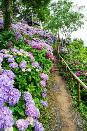 アジサイ咲く桃源郷岬の写真素材 [FYI01784412]