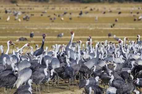出水平野の鶴の写真素材 [FYI01784413]