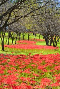 彼岸花咲く吉野公園の写真素材 [FYI01784470]