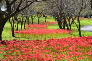 彼岸花咲く吉野公園の写真素材 [FYI01784493]