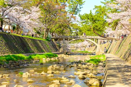 夙川公園の桜並木の写真素材 [FYI01784577]