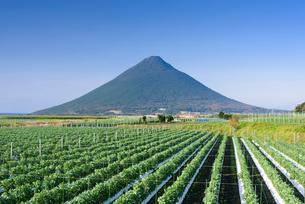 そら豆畑と開聞岳の写真素材 [FYI01784627]