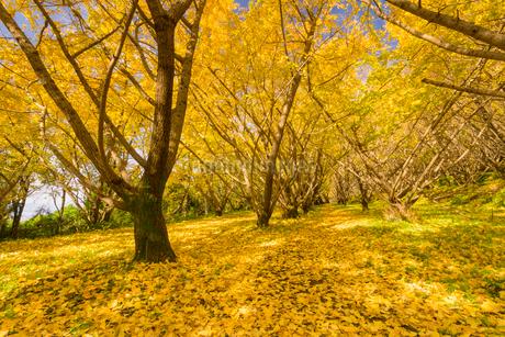 秋の千本銀杏の写真素材 [FYI01784906]