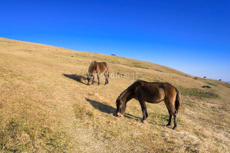 都井岬の岬馬の写真素材 [FYI01784950]