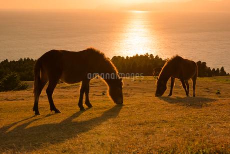 都井岬の岬馬の写真素材 [FYI01784974]