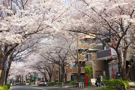 かむろ坂 桜並木の写真素材 [FYI01785174]