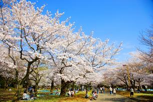 代々木公園 桜の写真素材 [FYI01787812]