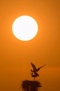 コウノトリと夕陽の写真素材 [FYI01790243]