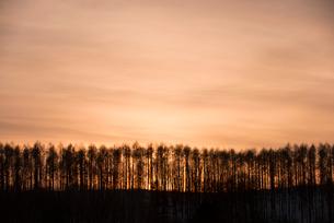 美瑛のカラマツ林の写真素材 [FYI01790261]