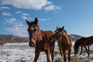 冬のサラブレッド子馬の写真素材 [FYI01790404]