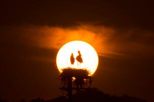 コウノトリと夕陽の写真素材 [FYI01790457]