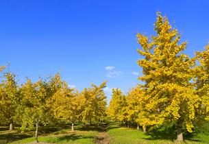 黄葉した祖父江町の銀杏畑の写真素材 [FYI01790598]